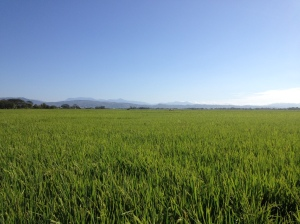 Philippines Rice Field